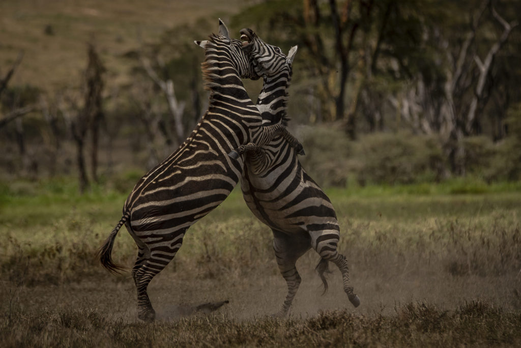 The fight of the Zebras -Kenia