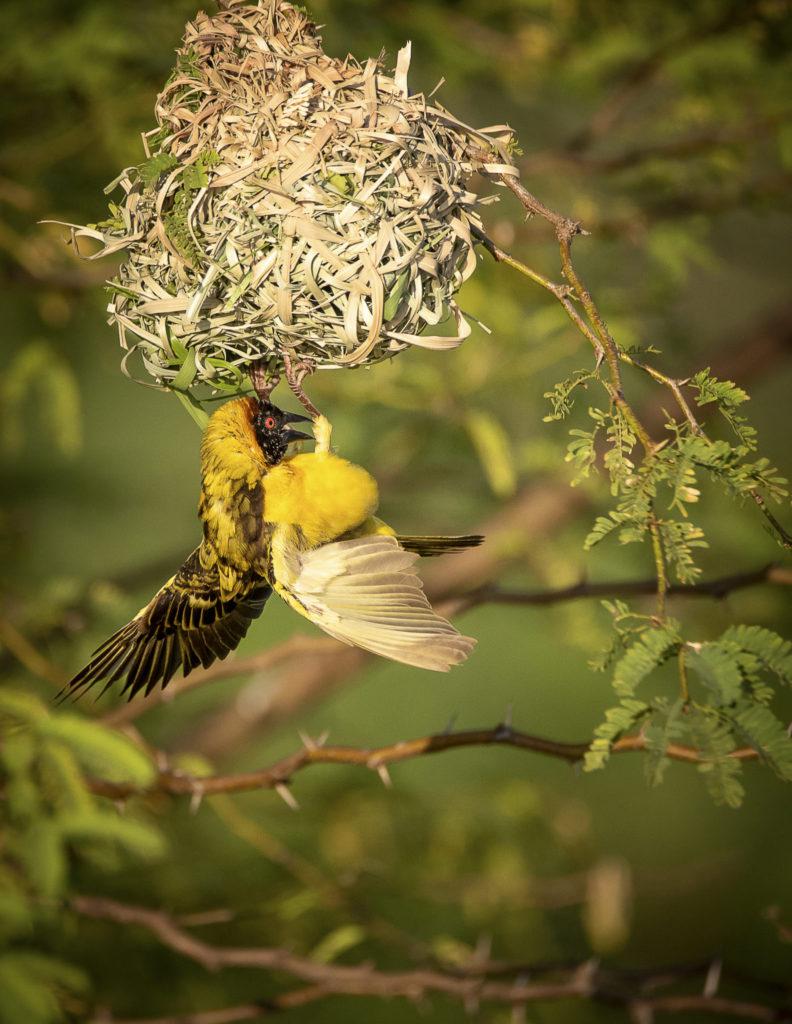 Weaver bird 's nesting – Kenia