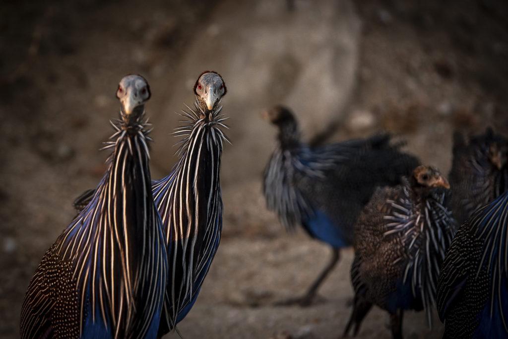 Blue Turkeys – Kenia