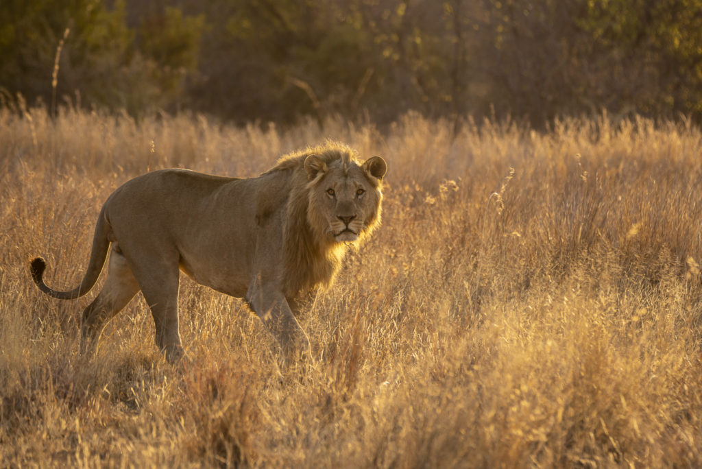 Lion in the early morning – South Africa