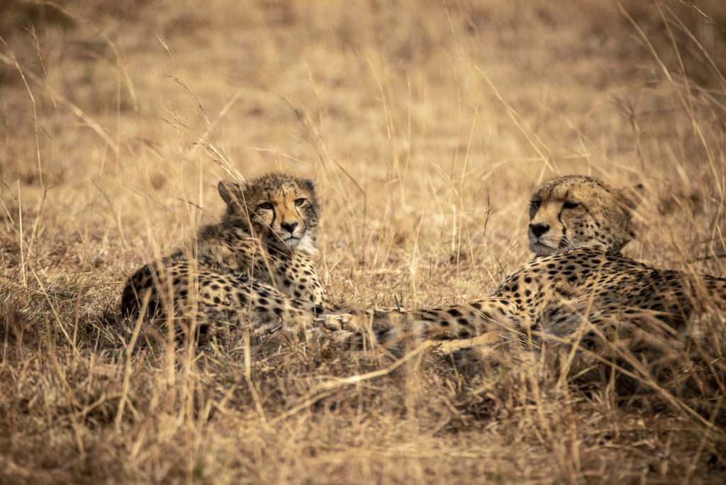 Mom and baby Cheetah – SouthAfrica