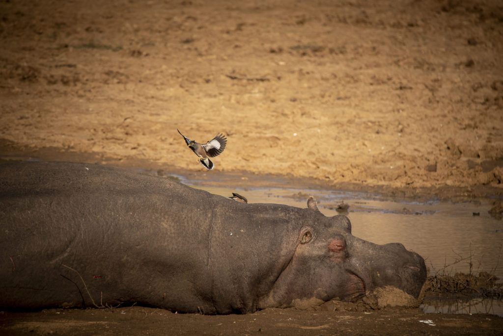 Chilling Hippo – South Africa