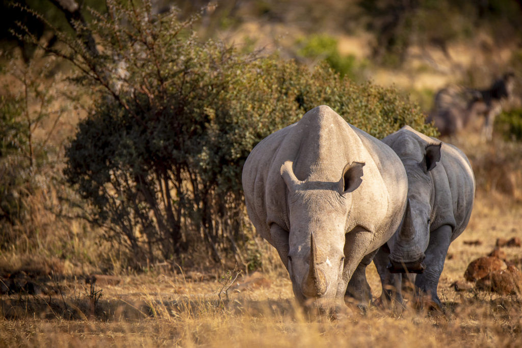The zebra and the Rhinos – South Africa