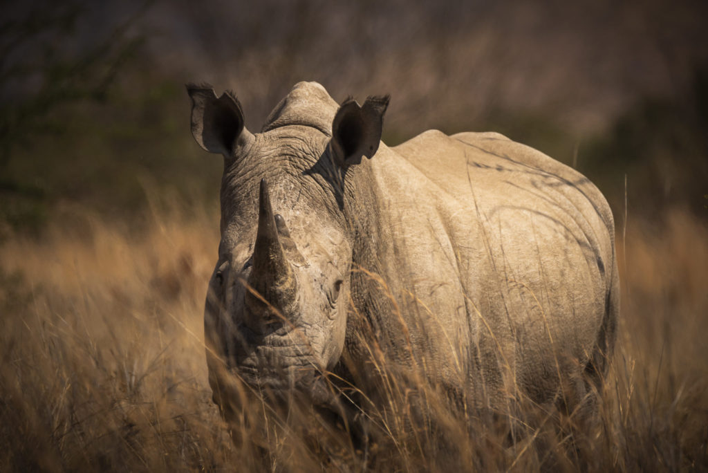Look of the Rhino – South Africa