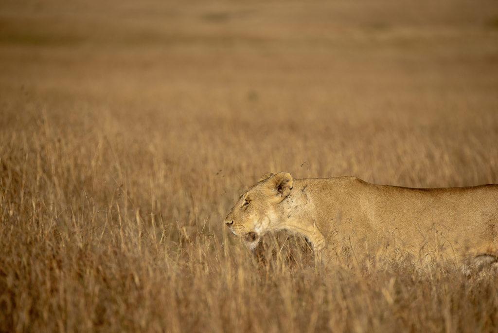 Lioness in the grass – Kenia