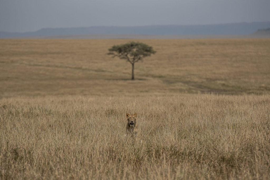 Lion and the Tree – Kenia