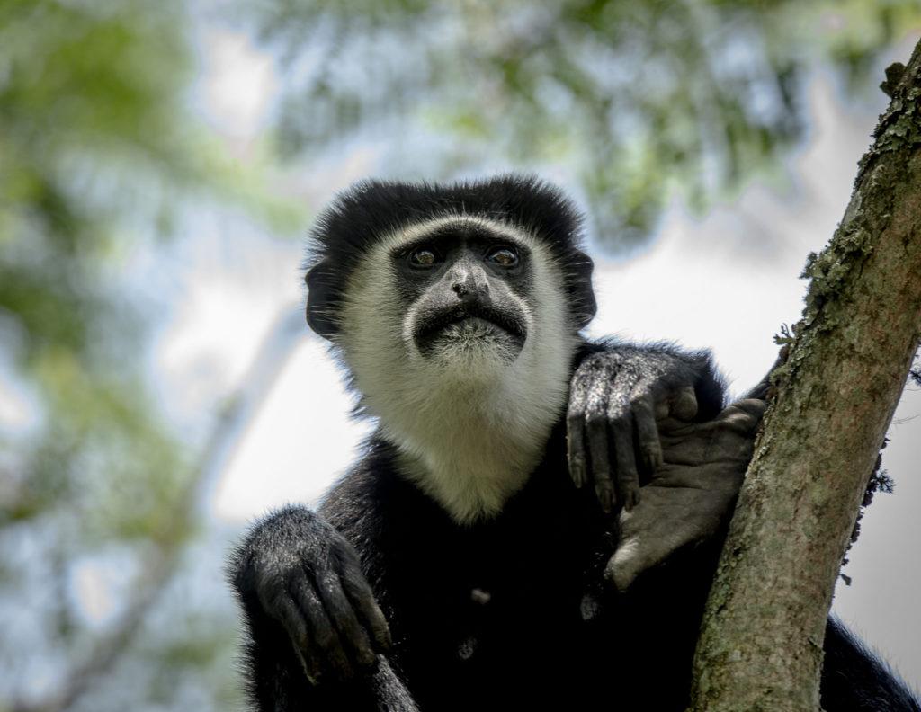 Look of black n white Colobus – Uganda