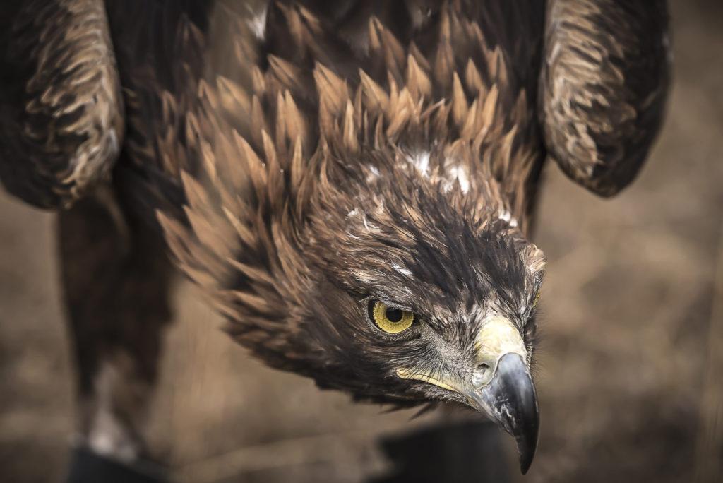 Golden Eagle – Mongolia