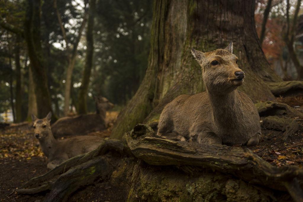 Nara Deers – Japan