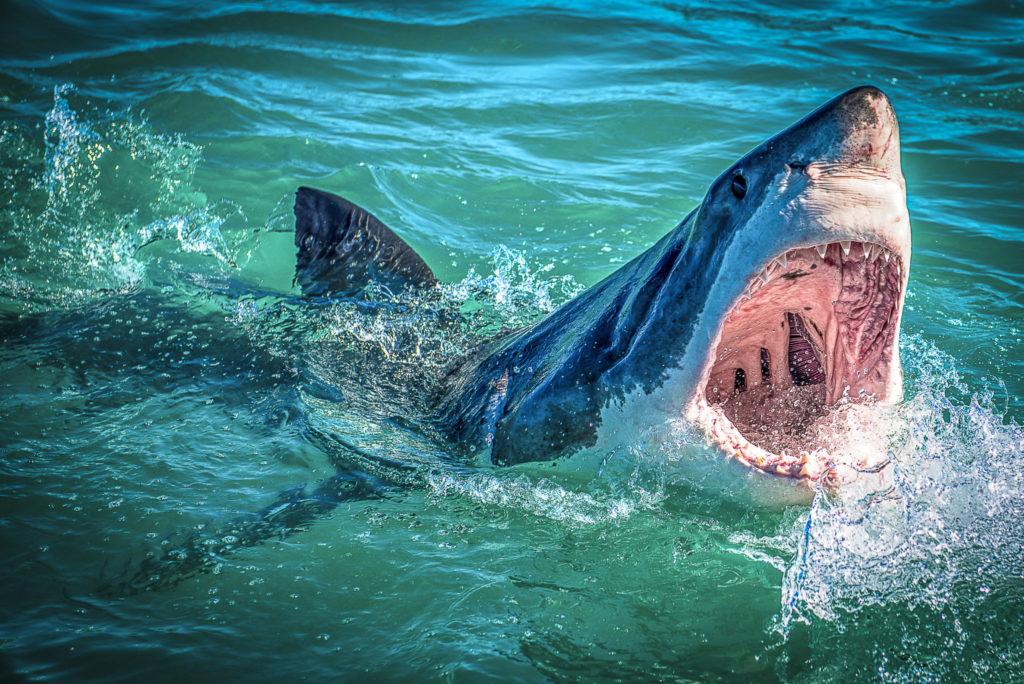 White Shark – South Africa