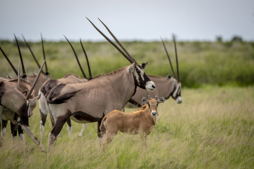 Baby Oryx – Botswana