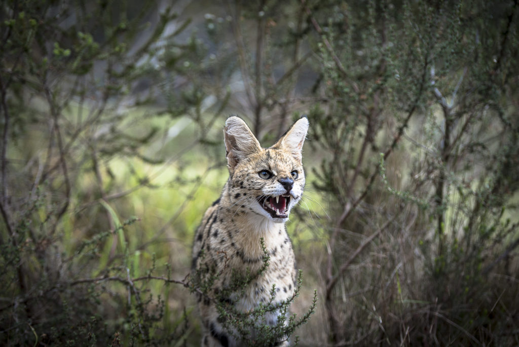 The Serval – South Africa