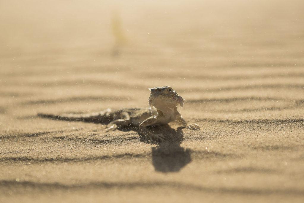 lizard of the desert – Kazachstan