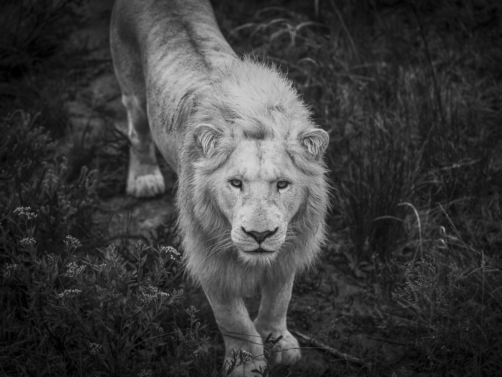 White King – South Africa