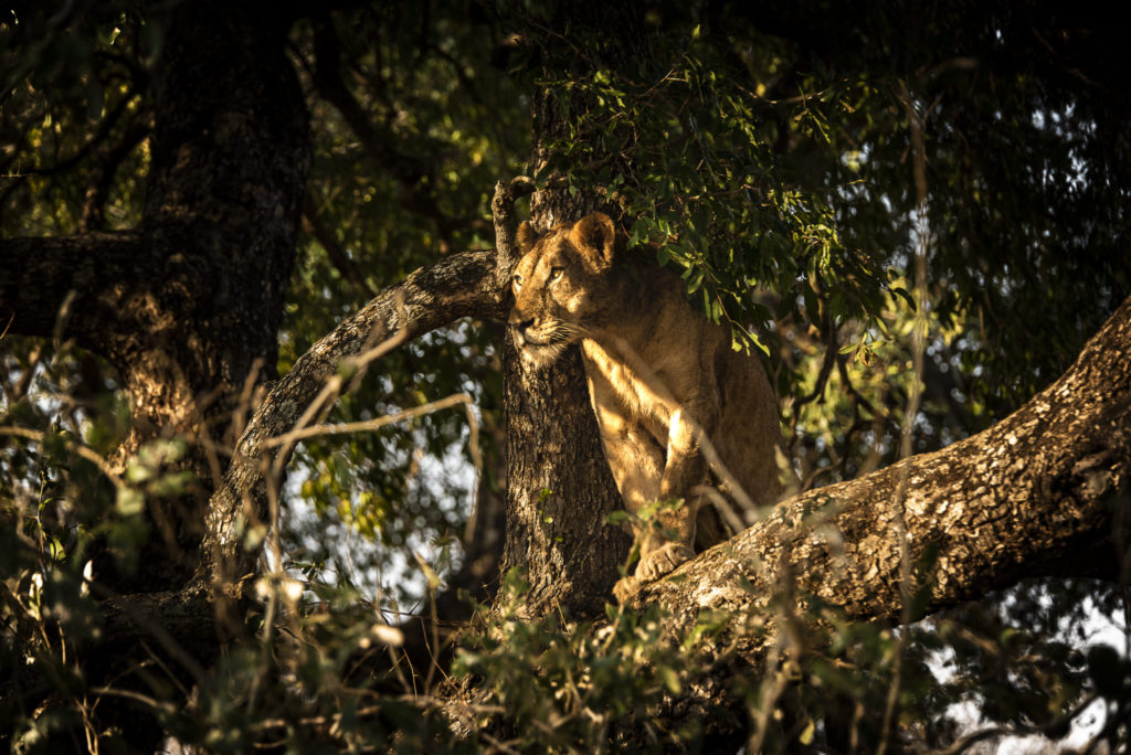 Lion in the tree – South Africa