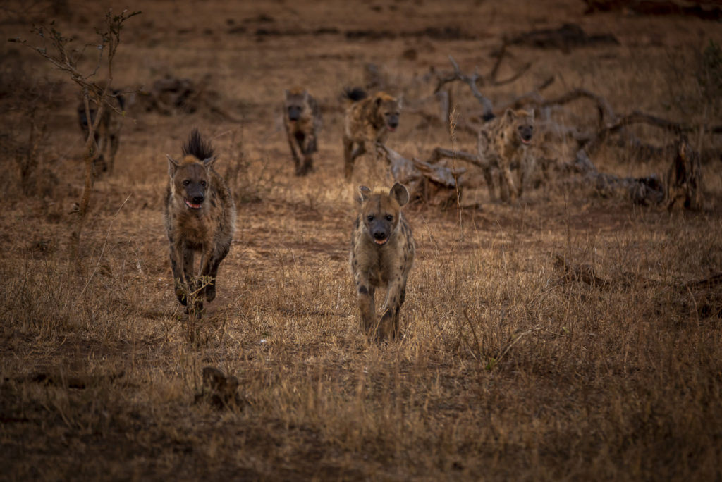 Call of the Hyena – South Africa