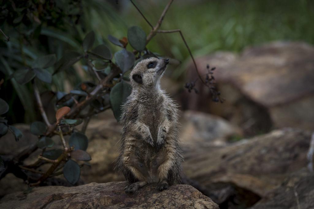 Meerkat – South Africa