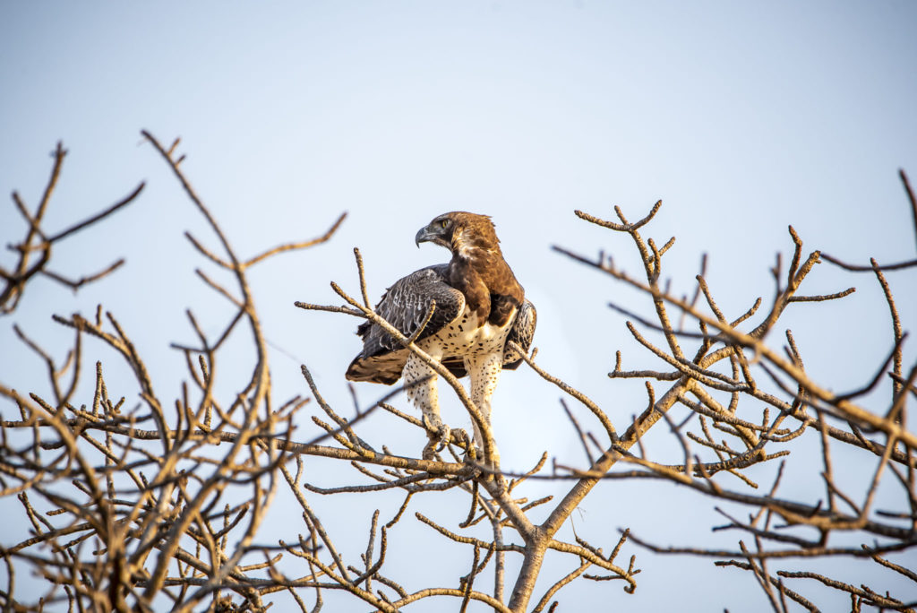The Martial Eagle – South Africa