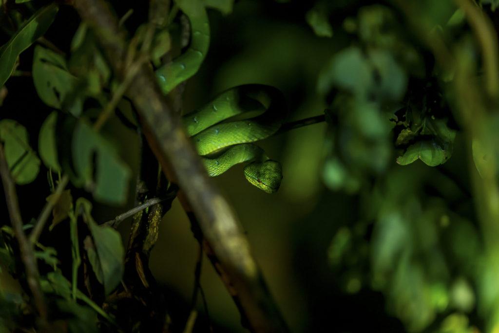 Green Viper – Borneo
