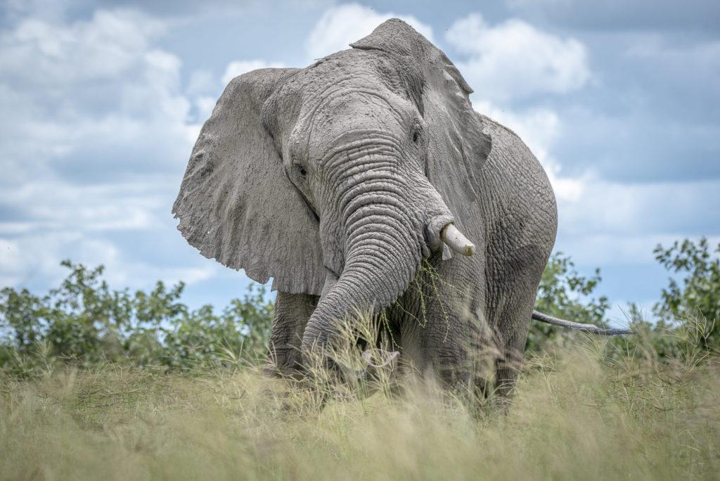 Graze of the elephant – Botswana