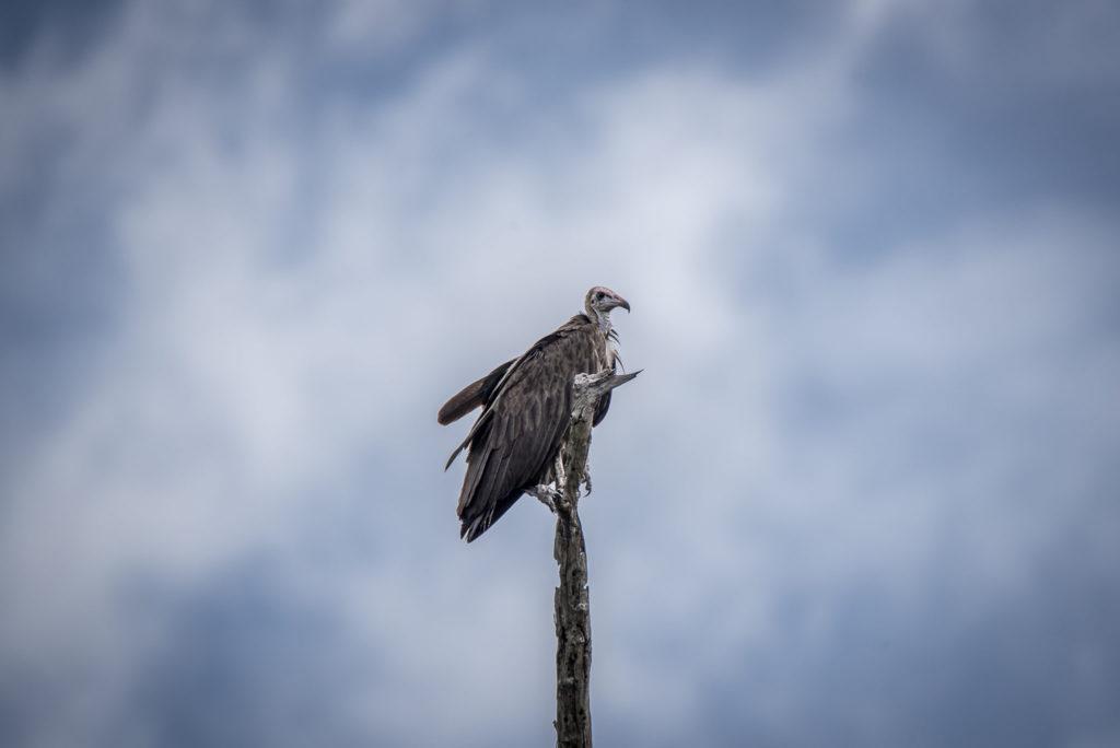 Vulture view – Botswana