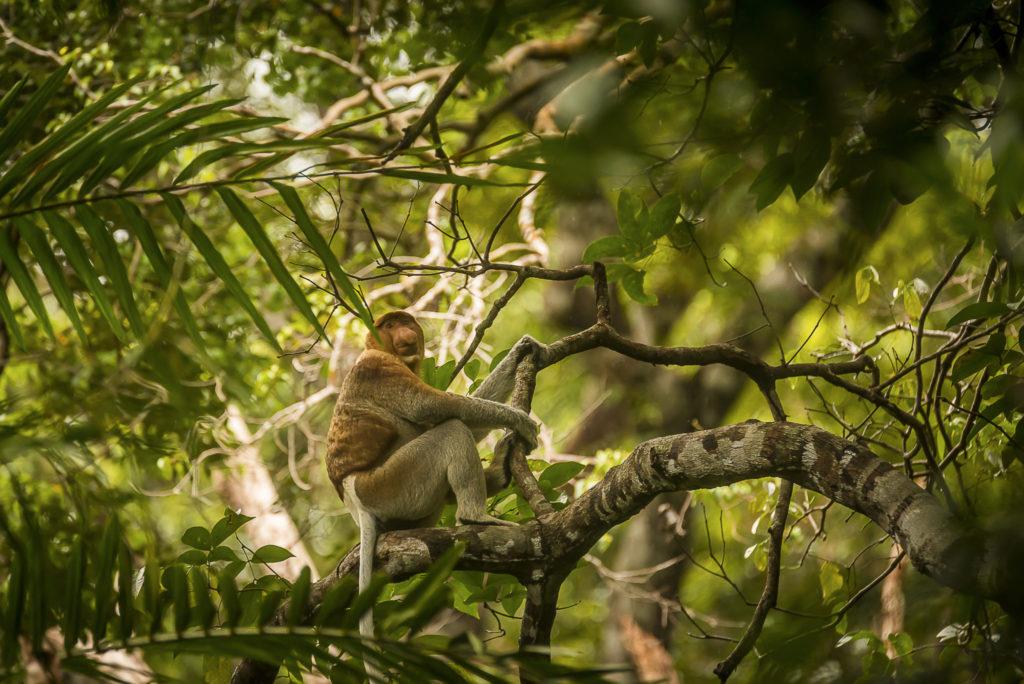 Call of the Probescis – Borneo