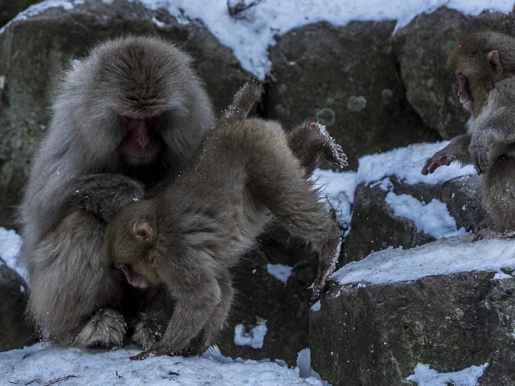 Snowmonkeys – Japan