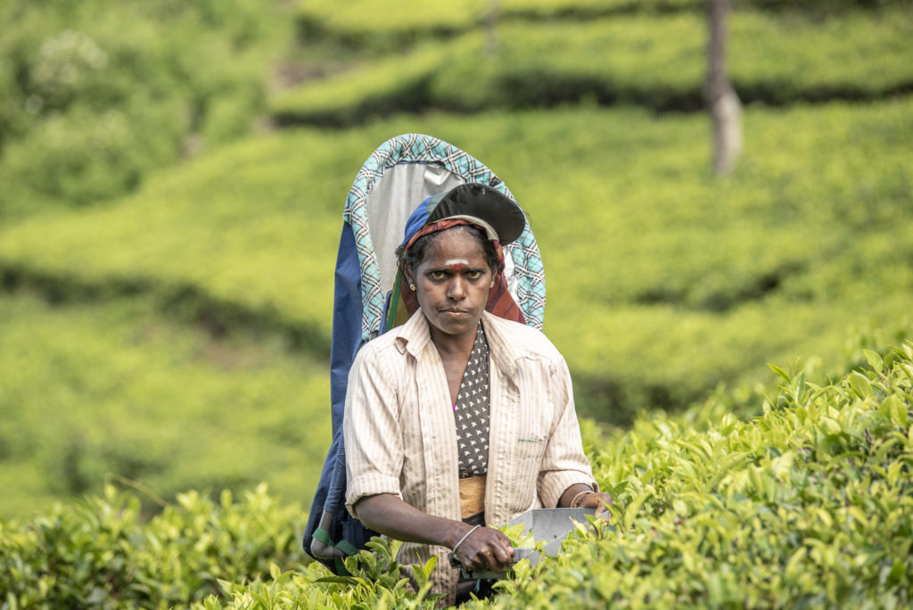 Hard working in the tea farm – Sri Lanka
