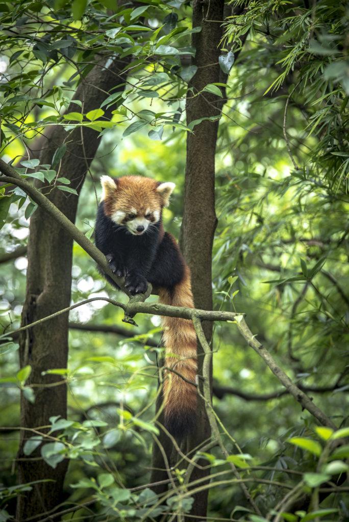 Red Panda – China