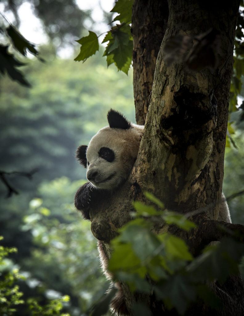 Panda chill – China