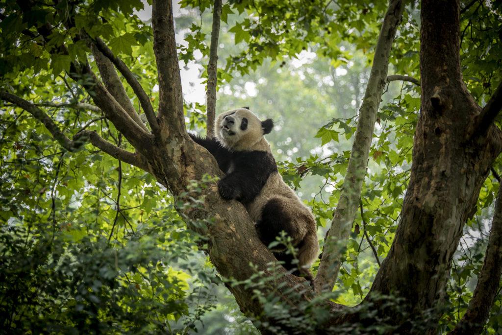 The Panda – China