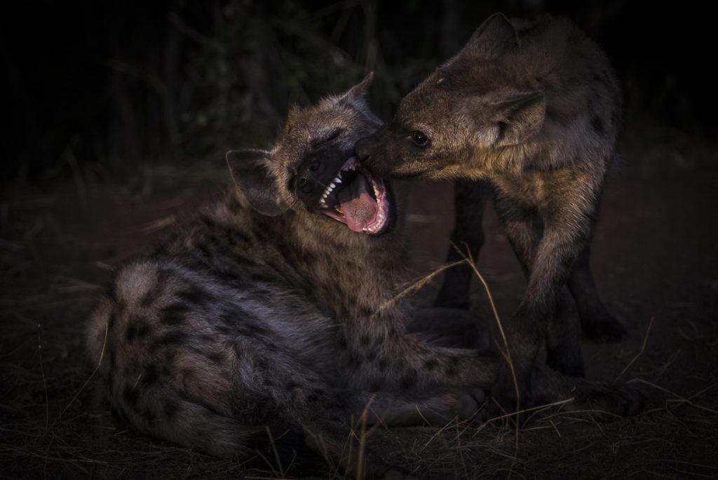 Hyena Love – South Africa
