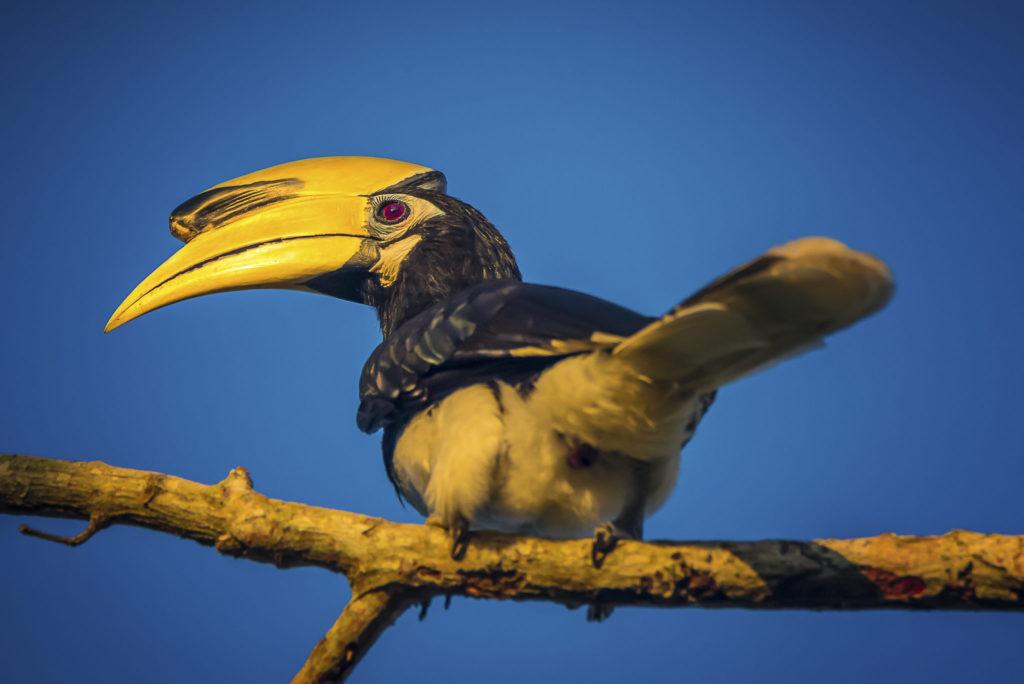 Oriental Pied Hornbill – Malaysia
