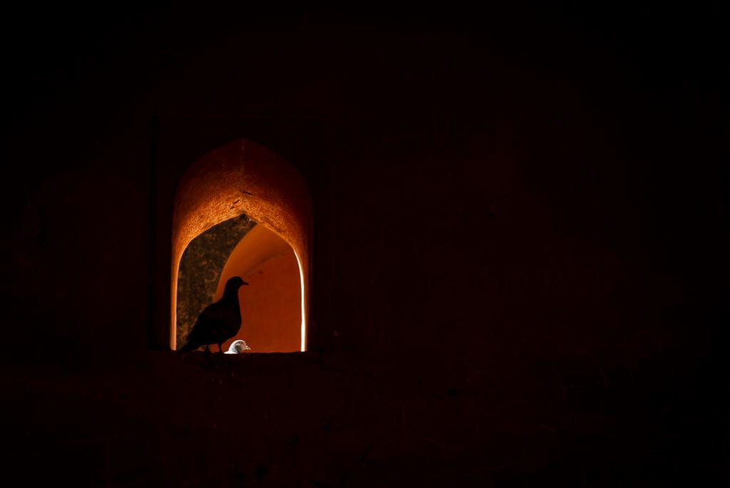 Pigeon – Indië