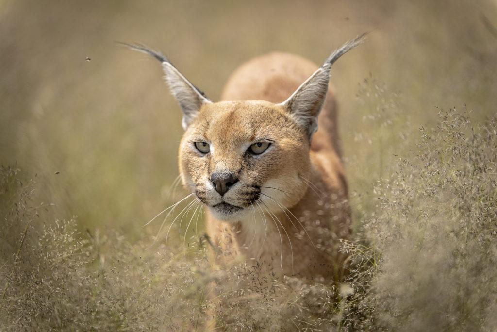 Caracal face – South Africa