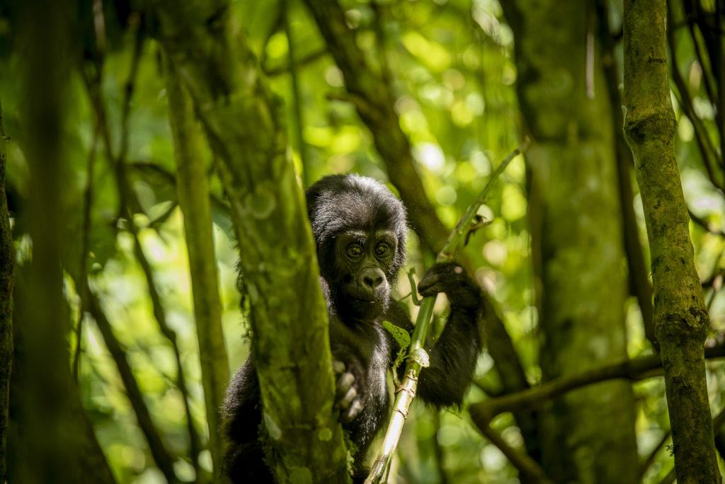 Baby Gorilla – Uganda