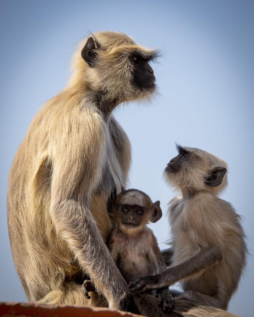 Langur Family – India