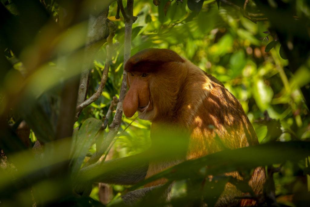Male Monkey – Indonesia