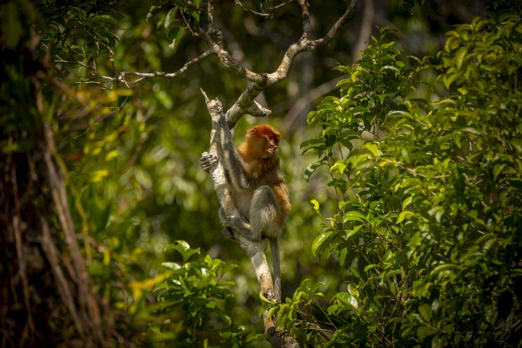 Female Proboscis Monkey – Indonesia